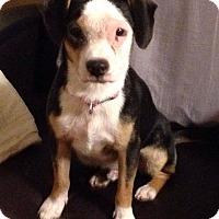 Adopt A Pet :: Bennigan - Somers, CT