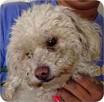 Poodle (Miniature) Dog for adoption in Downey, California - Holly