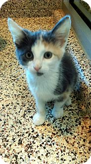 American Shorthair Cat for adoption in Aiken, South Carolina - Minnie