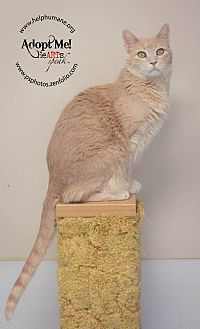 American Shorthair Cat for adoption in Belton, Missouri - Austin