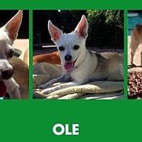 Chihuahua Mix Dog for adoption in Scottsdale, Arizona - Ole