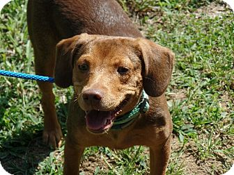 Beagle/Dachshund Mix Puppy for adoption in Allentown, Pennsylvania - Grace