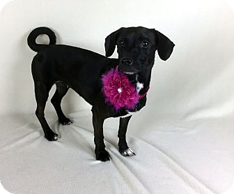 Dachshund/Terrier (Unknown Type, Small) Mix Dog for adoption in Jackson, Mississippi - Blakely