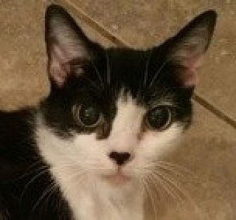 Domestic Shorthair Cat for adoption in Mobile, Alabama - SPECIAL NEEDS - Angel