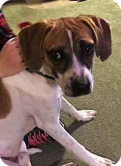 Hound (Unknown Type) Mix Dog for adoption in Laingsburg, Michigan - Ash