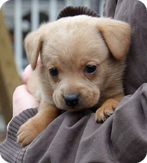 Corgi/Terrier (Unknown Type, Small) Mix Puppy for adoption in West Sand Lake, New York - Navajo (3 lb)