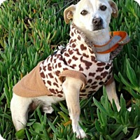 Chihuahua Mix Dog for adoption in Corona, California - RANDY