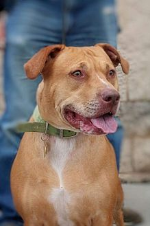 Pit Bull Terrier/American Staffordshire Terrier Mix Dog for adoption in Toledo, Ohio - Hope