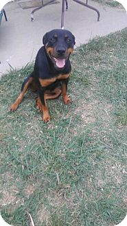 Rottweiler Dog for adoption in Fort Worth, Texas - Mika
