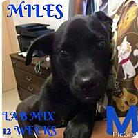 Adopt A Pet :: MILES - New York, NY