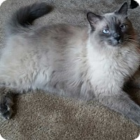 Adopt A Pet :: Balboa - Addison, IL