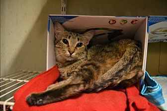 Domestic Shorthair Cat for adoption in Land O Lakes, Florida - Amy