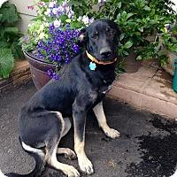 Adopt A Pet :: Levi - Denver, CO