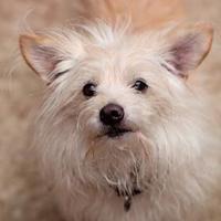 Adopt A Pet :: Stevie - Eugene, OR