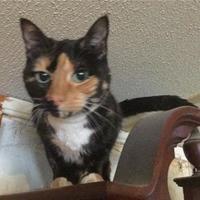 Domestic Shorthair/Domestic Shorthair Mix Cat for adoption in Garland, Texas - Paris