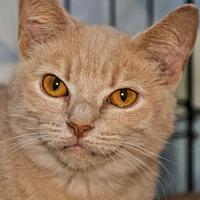 Adopt A Pet :: Gillian (bonded with Josephine) - Alexandria, VA