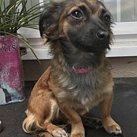 Adopt A Pet :: Shyanne - Costa Mesa, CA