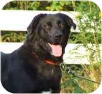 Labrador Retriever/Border Collie Mix Dog for adoption in Coleraine, Minnesota - Luca