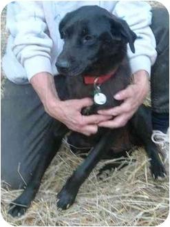 Labrador Retriever Mix Dog for adoption in Charlottesville, Virginia - Christina