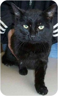 Domestic Shorthair Cat for adoption in North Judson, Indiana - Midnight