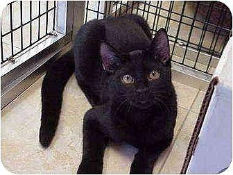 Domestic Shorthair Cat for adoption in Deerfield Beach, Florida - Castaway