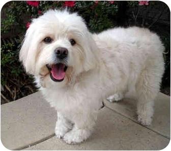Lhasa Apso/Maltese Mix Dog for adoption in Los Angeles, California - LORENZO