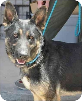 German Shepherd Dog Dog for adoption in Las Vegas, Nevada - Parker