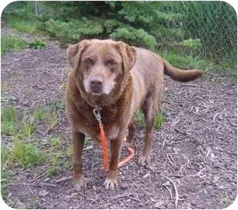 Labrador Retriever Dog for adoption in Austin, Minnesota - Lady