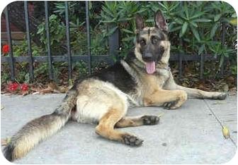 German Shepherd Dog Mix Dog for adoption in Los Angeles, California - Alex von Brussels