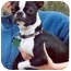 Photo 1 - Boston Terrier Dog for adoption in Clementon, New Jersey - Shrimpy