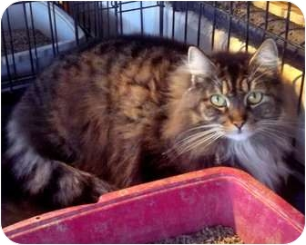 Norwegian Forest Cat Cat for adoption in Bandera, Texas - Alexa