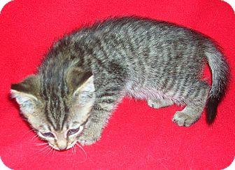 Domestic Shorthair Kitten for adoption in Yakima, Washington - Rez Kitten #7