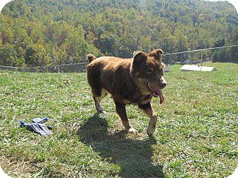 Australian Shepherd Dog for adoption in Bedford, Virginia - Smokey