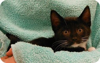 Domestic Shorthair Kitten for adoption in Reston, Virginia - Alexander