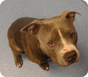 Pit Bull Terrier Mix Dog for adoption in Gainesville, Florida - Porkchop