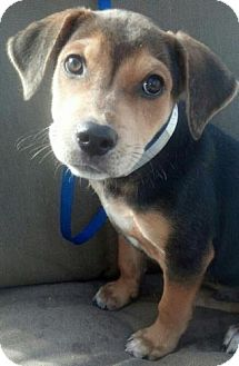 Beagle/Hound (Unknown Type) Mix Puppy for adoption in Linden, New Jersey - Boots