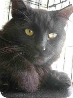 Maine Coon Cat for adoption in Fort Lauderdale, Florida - Olali