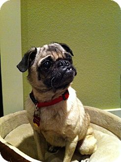 Pug Dog for adoption in Austin, Texas - Falena
