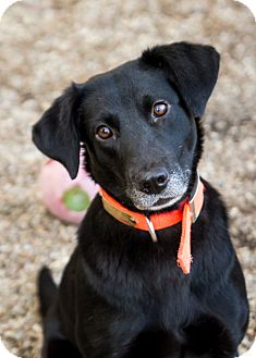 Labrador Retriever Mix Dog for adoption in Rosemount, Minnesota - Chloe