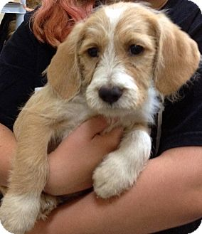 Golden Retriever/Toy Poodle Mix Puppy for adoption in Thousand Oaks, California - Simba