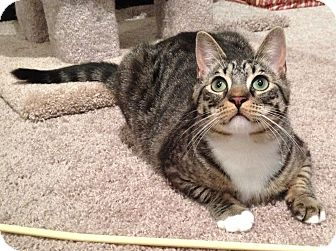 Domestic Shorthair Cat for adoption in Mount Clemens, Michigan - Harley