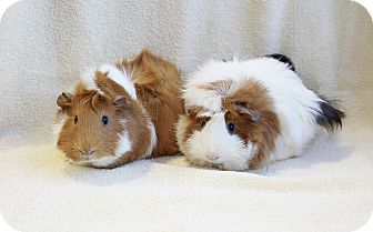 Guinea Pig for adoption in Blackstock, Ontario - Rory (NM) & Charlotte