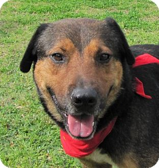 Shepherd (Unknown Type) Mix Dog for adoption in Port St. Joe, Florida - Hyde