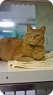 Domestic Shorthair Cat for adoption in Fort Smith, Arkansas - Patchouli
