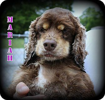 Cocker Spaniel Dog for adoption in Denver, North Carolina - Mariah