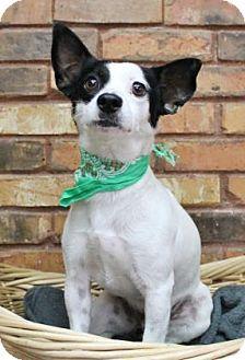 Rat Terrier Mix Dog for adoption in Benbrook, Texas - Sawyer
