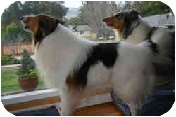 Collie Dog for adoption in Redwood City, California - Bobby