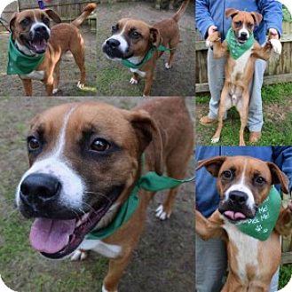 Boxer Mix Dog for adoption in Chalfont, Pennsylvania - Pilgrim