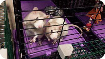 Rat for adoption in Philadelphia, Pennsylvania - DAVID and JONATHAN