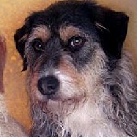 Wirehaired Fox Terrier/Airedale Terrier Mix Dog for adoption in Pt. Richmond, California - SNICKERS